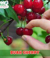 jual bibit cherry
