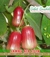 jambu air lilin