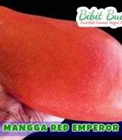 mangga emperor