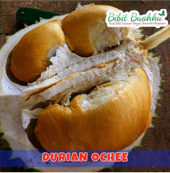 durian ochee