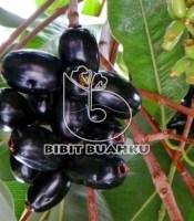 gambar buah jamblang