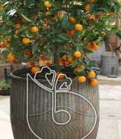 gambar buah jeruk kip kimkit