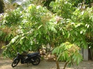 gambar bibit kelengkeng unggul Puang Thong