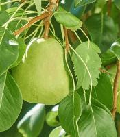 gambar buah pir