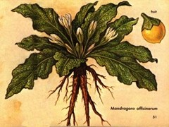 Illustration of a Mandrake plant