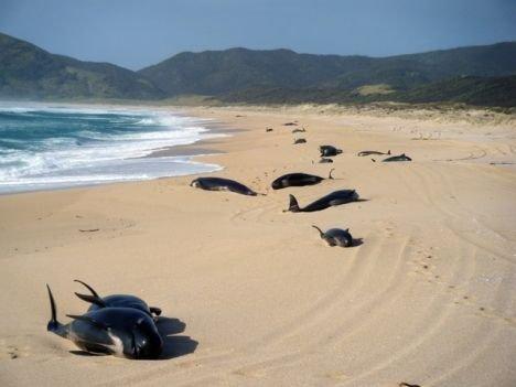 Baleines échouées en Nouvelle-Zélande