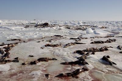 Carcasses de centaines de phoques trouvées sur les côtes Nord du labrador
