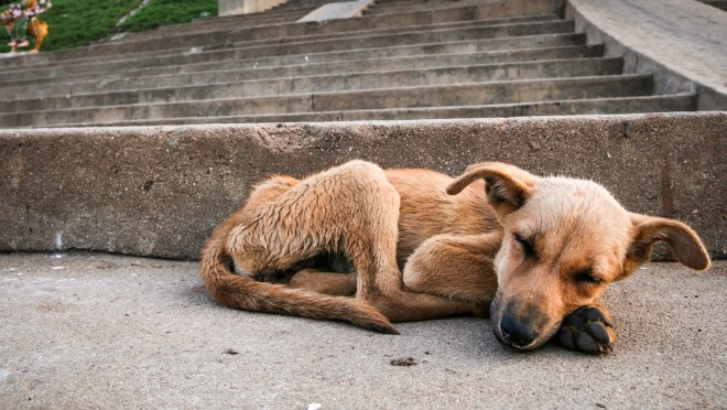 Young stray dog sleeping on pavement in india