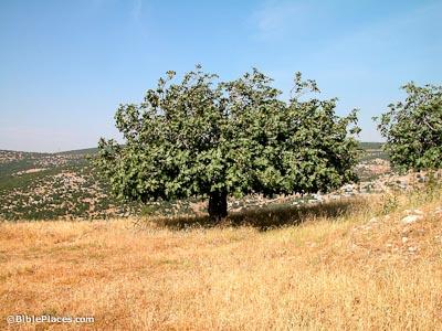 Fig tree at Umm al-Hedamus