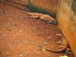 iguanas rep dom