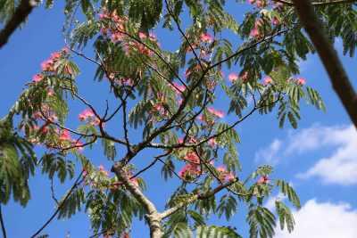 Albizia - Silk Tree