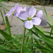 cardamine pratensis_cuckoo flower/ladies smock