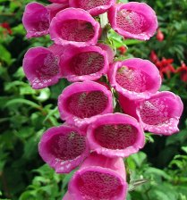 digitalis_purpurea_foxglove