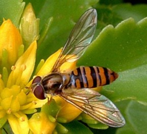 Female overfly