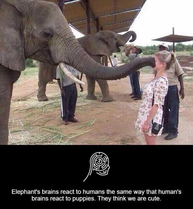 Elephants intelligent to read the human brain.