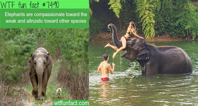 Elephants are compassionate towards the weak.