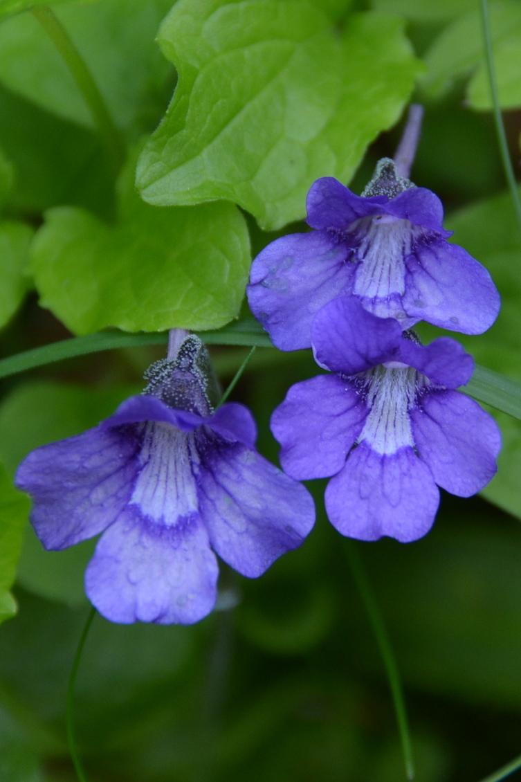14-Grassette-à-grandes-fleurs