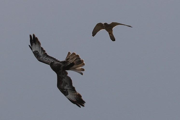 Buse et faucon