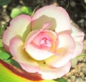 2016-08-06 007 Mini rosier Mamie (2)