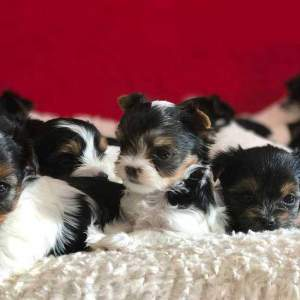 Deposit Payment for Biewer terrier Puppy