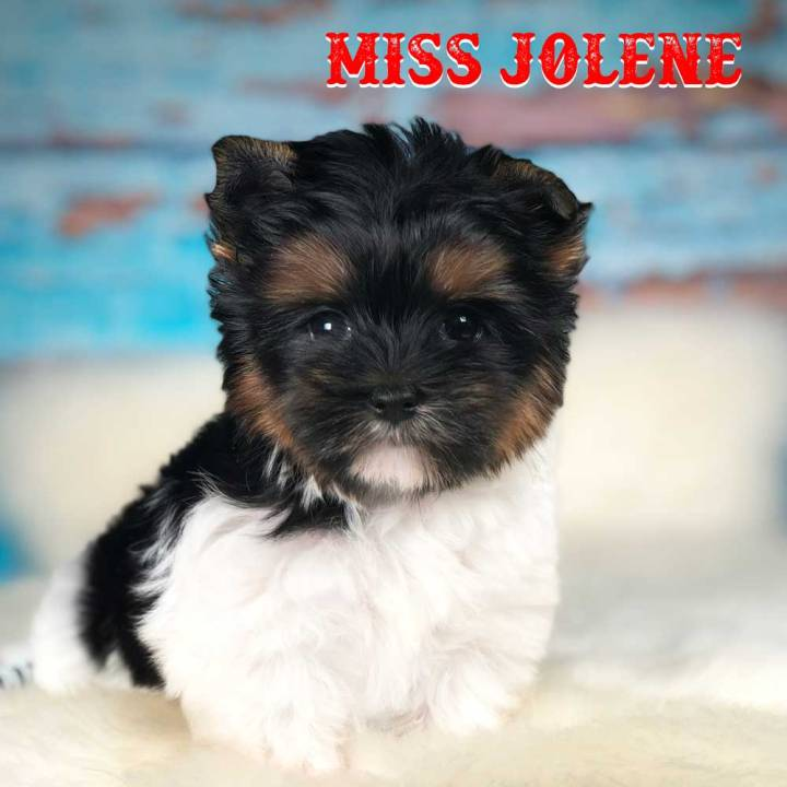 Miss Jolene Biewer Terrier Puppy