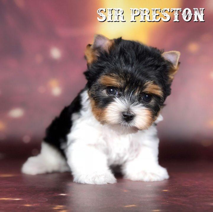 Rocky Mountain's Sir Preston - Biewer Puppy
