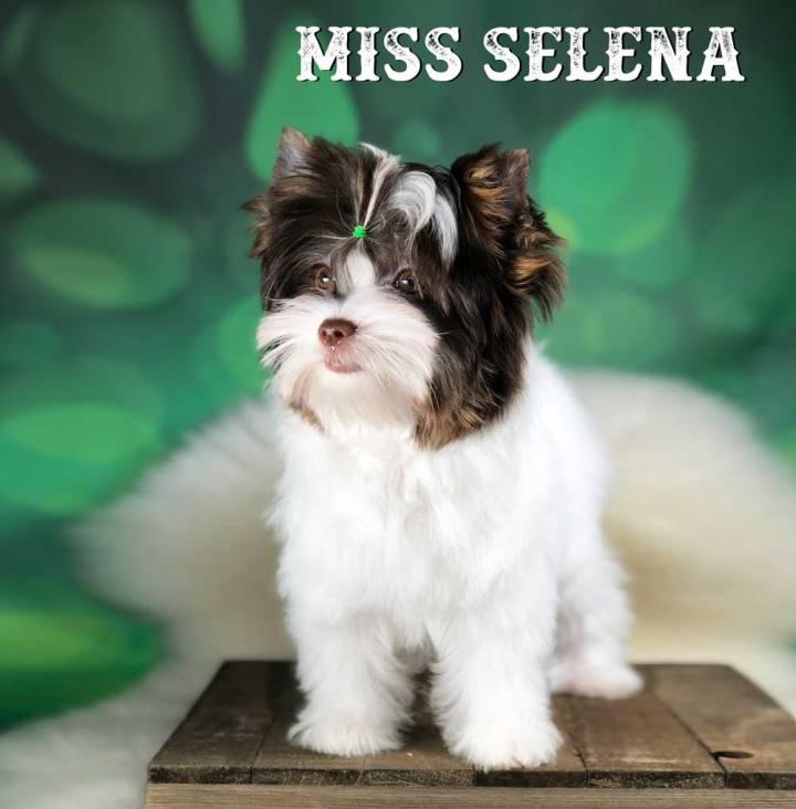 Chocolate Biewer Terrier Girl Miss Selena