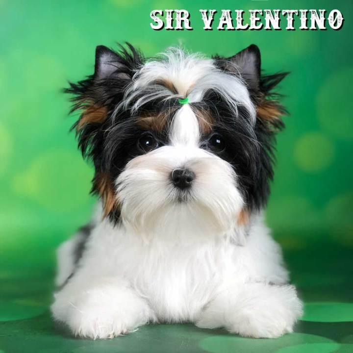 Rocky Mountain Biewer Terrier Puppy Boy Sir Valentino