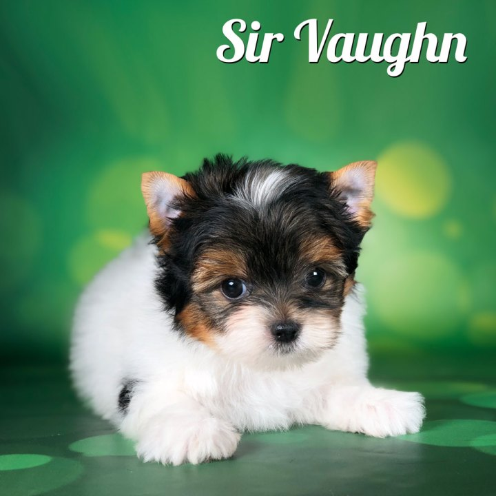 Biewer Terrier Puppy Sir Vaughn