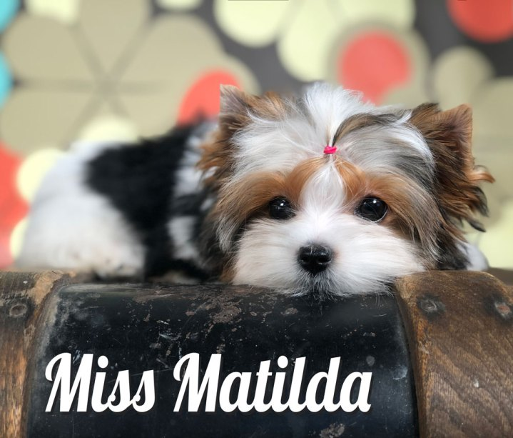 Biewer Puppy Miss Matilda