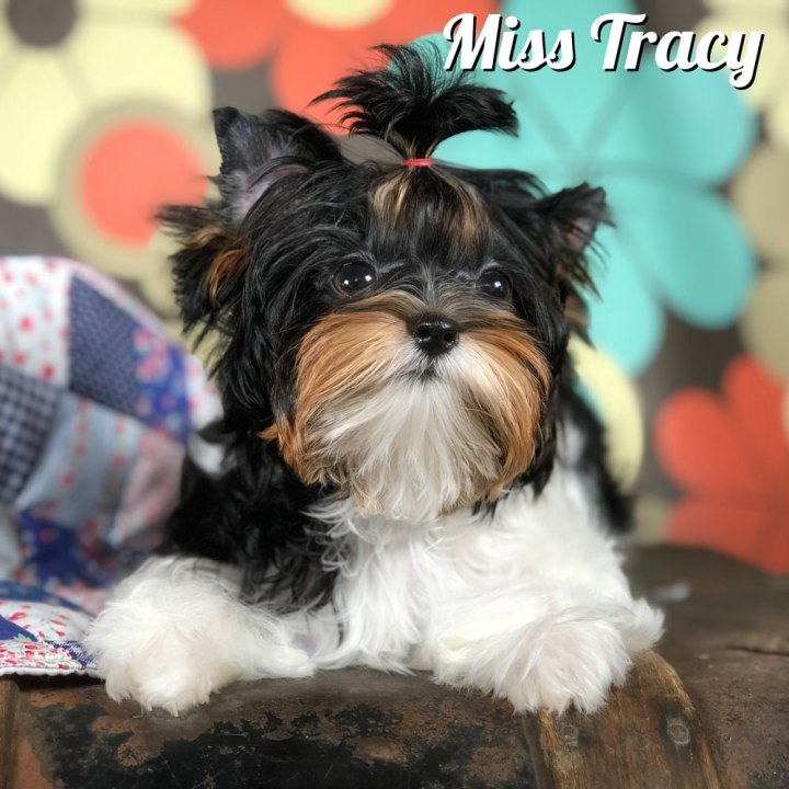 Tracy Biewer Terrier Puppy