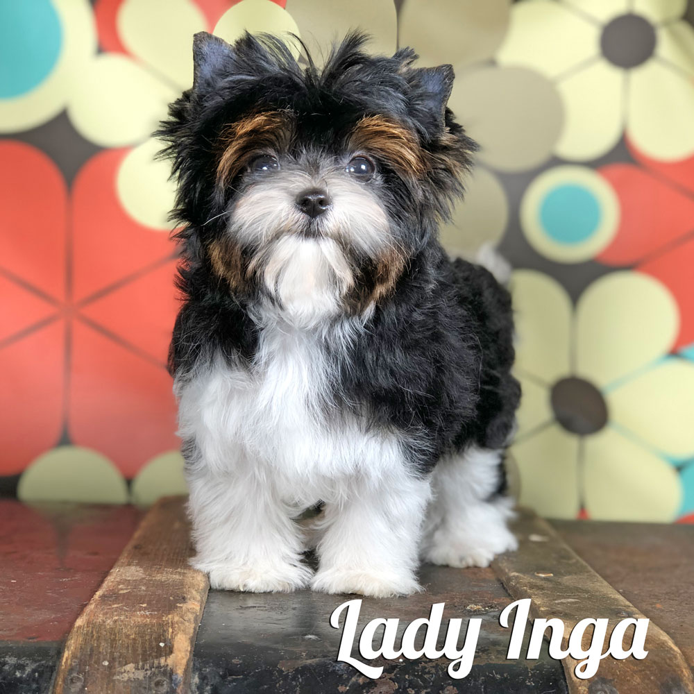 Biewer Terrier Puppy Lady Inga Is Available At Biewerworldcom