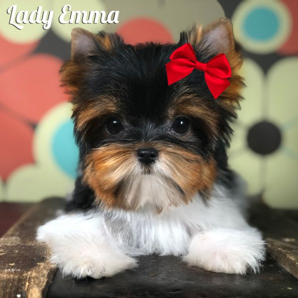 Emma Mini Biewer Terrier