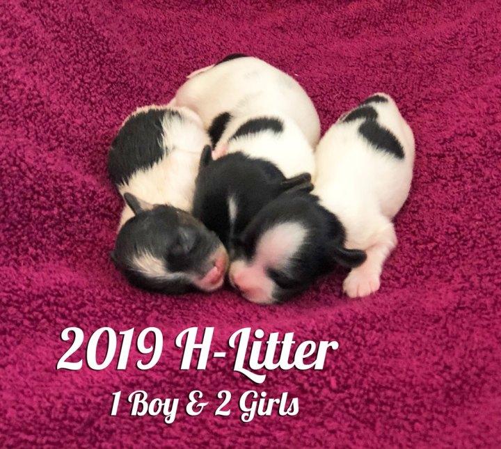 2019 Biewer Terrier H-Litter