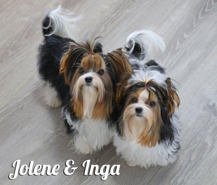 Biewer Terrier Females Rocky Mountain's Lady Jolene & Lady Inga