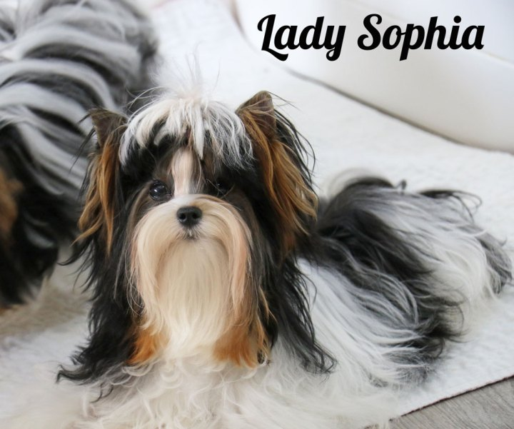 Biewer Terrier Females Rocky Mountain's Lady Sophia
