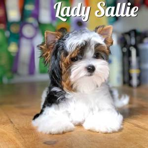 Biewer Puppy Sallie