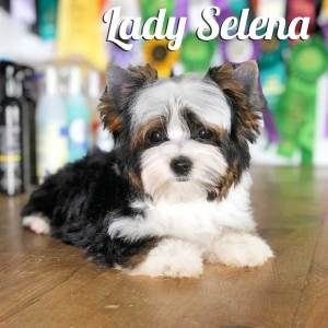 Biewer Puppy Selena
