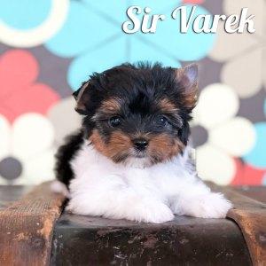 Biewer Puppy Varek