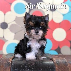 Biewer Puppy Benjamin