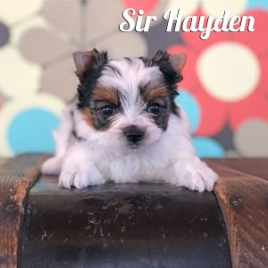 Biewer Puppy Hayden
