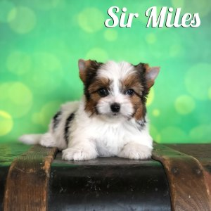 Biewer Terrier Puppy Miles