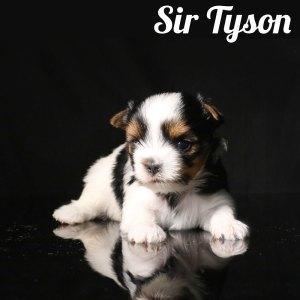 Biewer Puppy