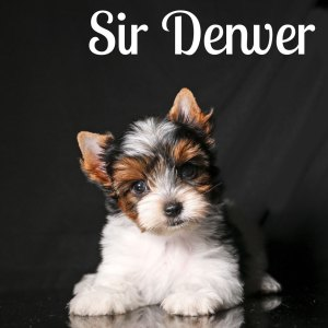 Biewer Puppy Denver