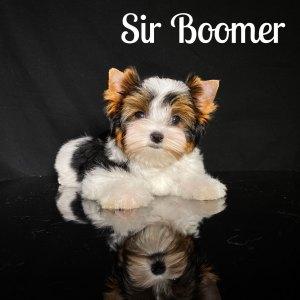 Boomer Biewer puppy