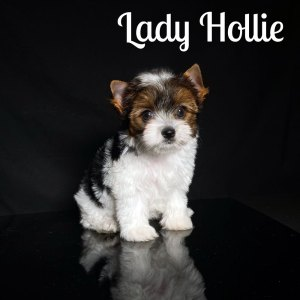 Biewer Puppy Hollie