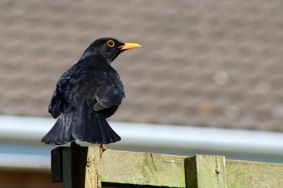 Blackbird (all images copyright Stephen Baird use contact@bigbeardedbookseller.com for info)