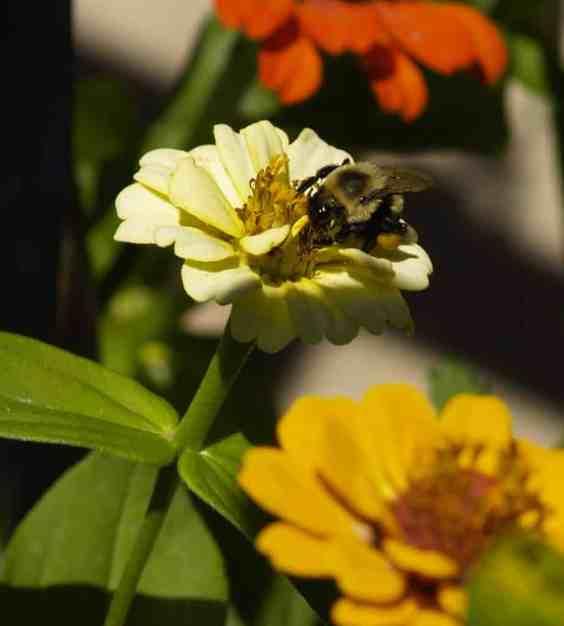 abeja polinizadora zinnia