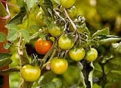 dirty dozen pesticide fruits vegetables