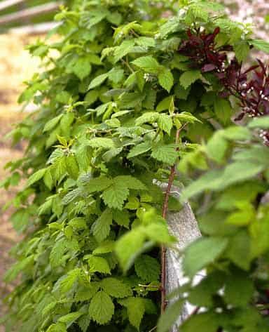 Moras frambuesas orgánicas atadas a una valla